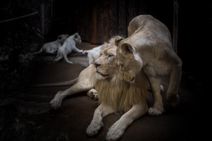 lion-2119450_1920