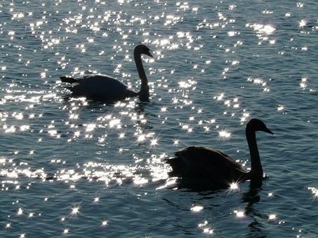 swan-10410__340